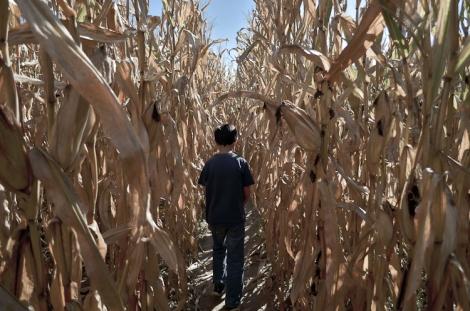 Kentucky Corn Maze