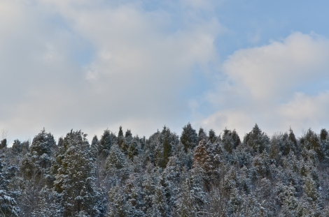 Pine Trees in Fort Thomas, KY.