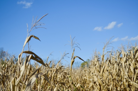 A corn field in Camp Springs, Kentucky